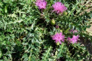 Canadian Thistle: List B