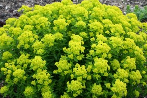 Cypress Spurge: List A