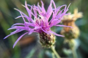 Russian Knapweed: List B