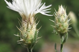 Diffuse Knapweed: List B