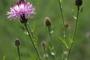 Spotted Knapweed: List B