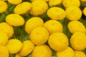 Common Tansy: List B
